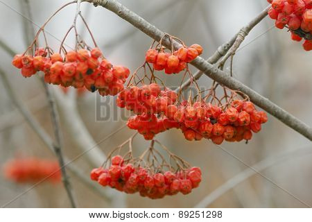 Ripe Red Berries Of Mountain Ash