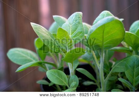 Young Tobacco Plant