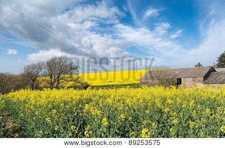 Rapeseed Fields In Cornwall