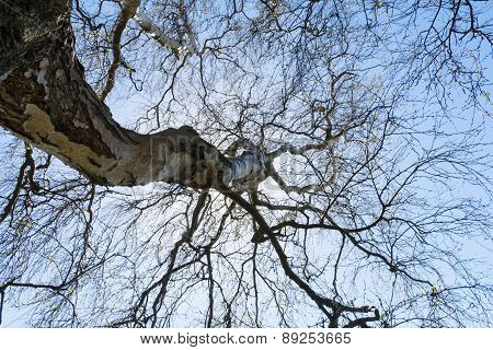 View In The Treetop Of A Bare Old Birch Tree