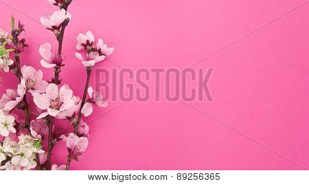 Blooming Sakura, Spring Flowers On Pink Background With Space For Greeting Message. Mother's Day And