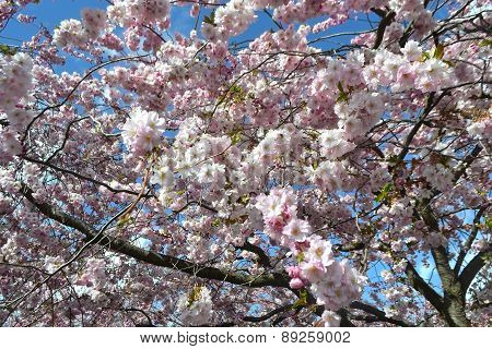 Cherry Blossom In Kungstradgarden.
