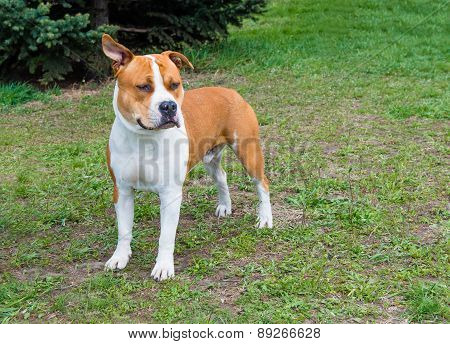 American Staffordshire Terrier listens.