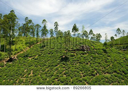 Sri Lanka, Tea Plantation