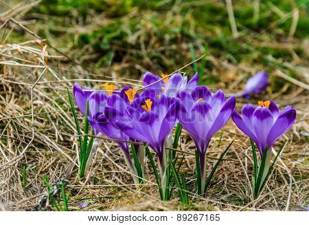 Wild Crocus  Blooming In  The First Sun Rays In Spring
