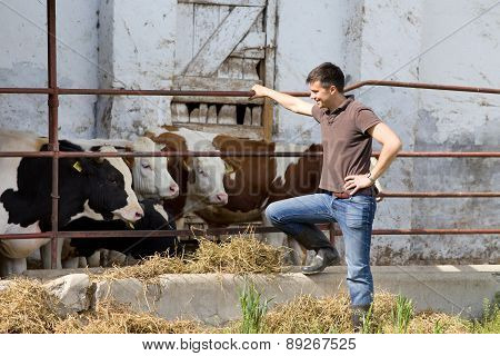 Farmer With Young Cattle
