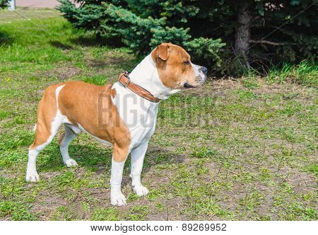 American Staffordshire Terrier sideview.