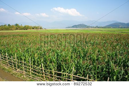 Maize Field Intercrop Paddy