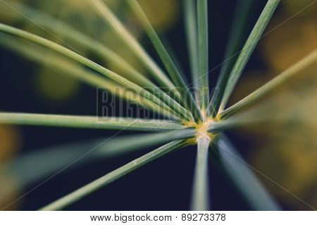 Abstract Inflorescence Dill Close-up