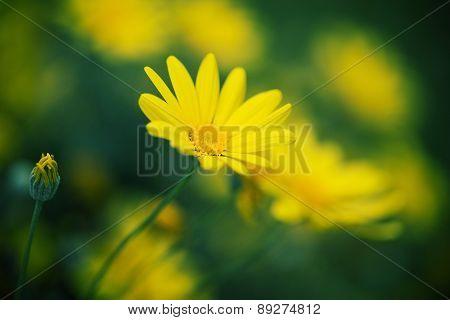 Closeup of daisy flower