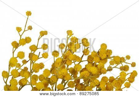 yellow mimosa branch isolated on white background