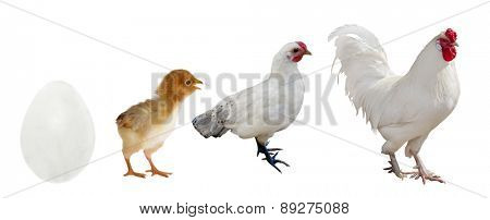 light rooster stage of life isolated on white background