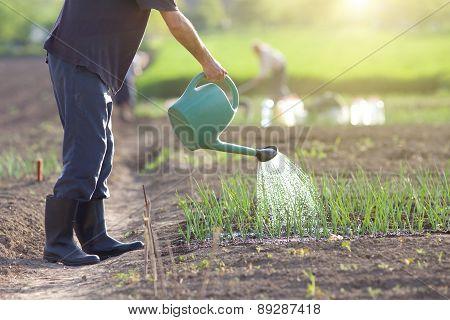 Watering Onion Garden