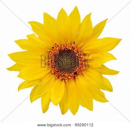 sunflower, vector