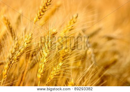 Backdrop of ripening ears of yellow wheat field,Shallow Dof.