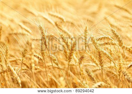 Backdrop of ripening ears of yellow wheat field