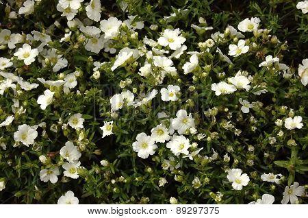 White Creeping Flowers