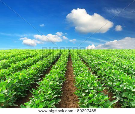 Green rows on field.