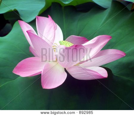 Lusterous Water Lily