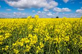 pic of rape  - Rape seed field set against the blue cloudy sky.