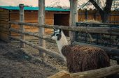stock photo of lamas  - Lama in the park looking at the camera - JPG