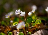 picture of sorrel  - Beautiful small flowers of wood sorrel blooming in early springtime in forests - JPG