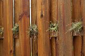 stock photo of stockade  - A wet wooden stockade fence with air plants growing on the cross beam on a rainy day - JPG