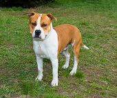 stock photo of american staffordshire terrier  - The American Staffordshire Terrier is on the grass - JPG