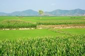 image of maize  - Viietnamese agricultural field at Daklak Vietnam vast maize field intercrop with paddy plant good crop on plantation - JPG