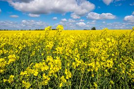 stock photo of rape-field  - Rape seed field set against the blue cloudy sky. ** Note: Visible grain at 100%, best at smaller sizes - JPG