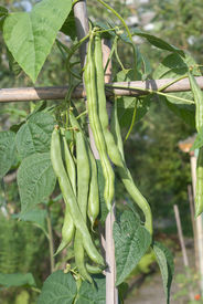 image of green bean  - Vegetable Garden with Fresh and Nutritious Green Beans - JPG