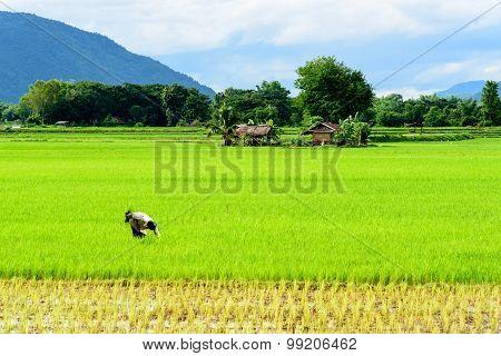 A Farmer Is Weeding In A Paddy Field.