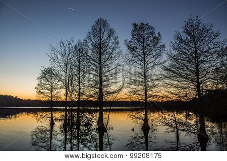 Bald Cypress in Silhouette