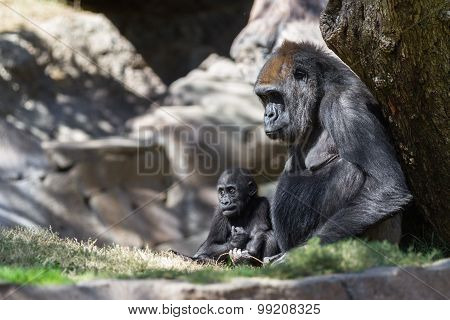 Baby Gorilla And Mom
