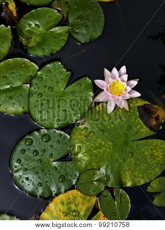 Pink water-lily in pond with vertical perspective