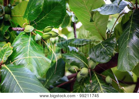 Closeup image of green almonds on a tree brunch