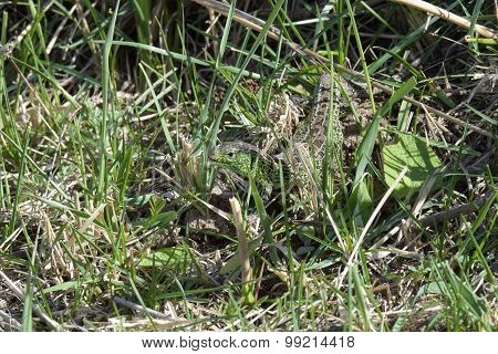 Green Lizard  In Green Grass
