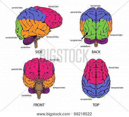 Human Brain From All Sides