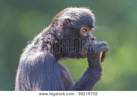 Spider Monkey (ateles Fusciceps)