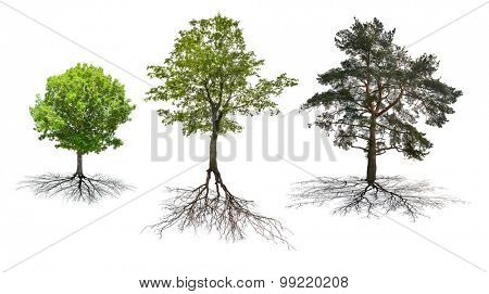 set of three trees with roots isolated on white background