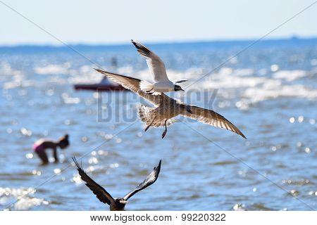 Feeding Seagulls Flying over a Beach