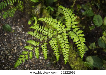 Fern in the forest Doi Inthanon national park. Chiang Mai ,Thailand.