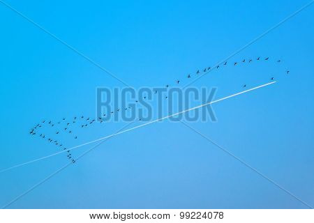 Flock Of Wild Geese Flying In Formation