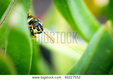 Wasp Peeping