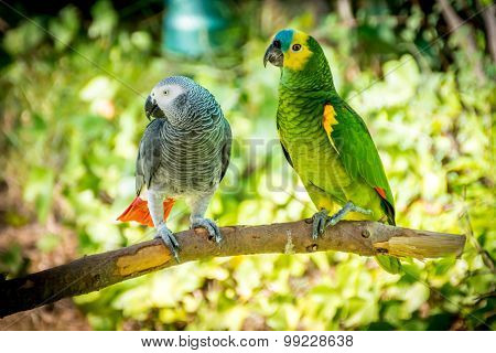 African Grey Parrot And Blue-fronted Amazon