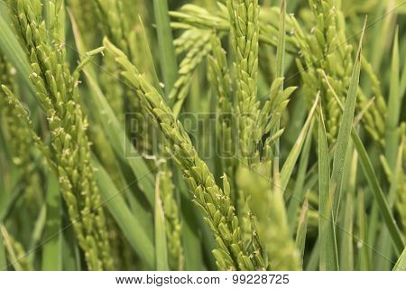 Unripe Rice Plantation