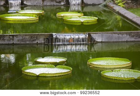 Giant Green Water Llilies Floating On A Pond