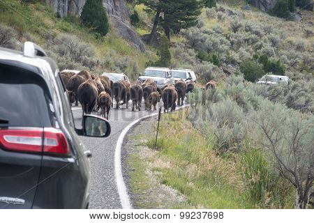 Bison In Car Traffic