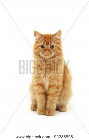 Redhead long hair kitten