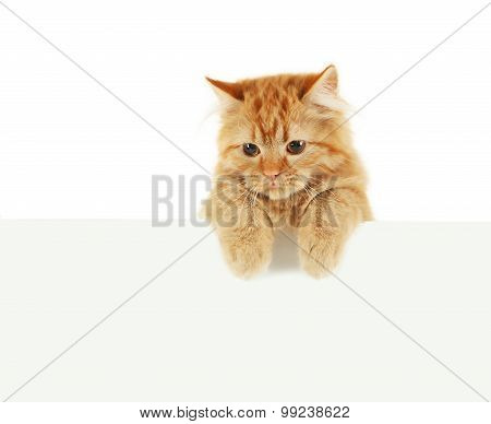 Redhead long hair kitten